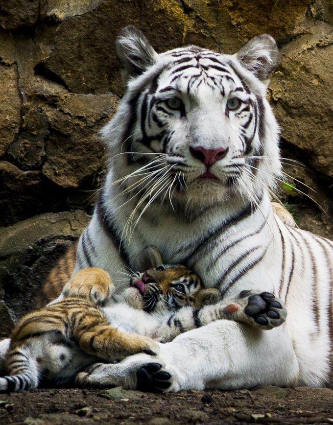 Indira, a bengal white tigress, lies down with one of her three cubs at the zoo of Cali, Colombia