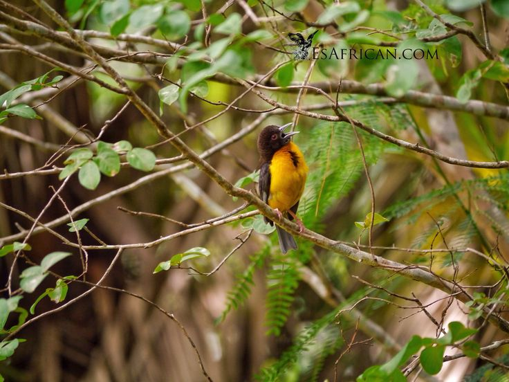 Another bird @ Zomba. This one is on the lower slopes, in fact in one of the leafiest parts of the upper end Zomba town itself...