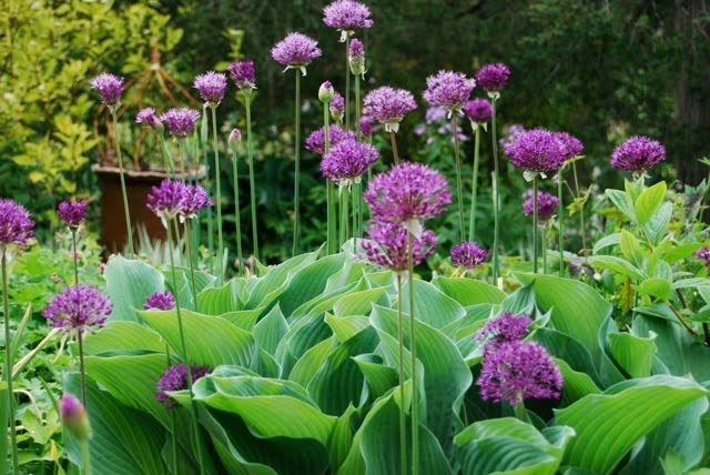 Hostas & Allium - stunning - why have I not seen this combo before?