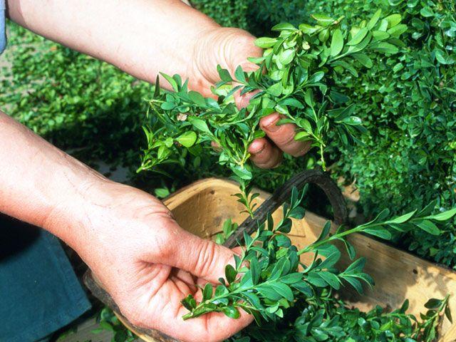 Bouturer le buis  Arbuste utilisé pour les haies basses des jardins à la française, le buis se multiplie par bouturage. C'est une opération assez facile, à condition de prendre certaines précautions pour assurer la reprise des boutures.