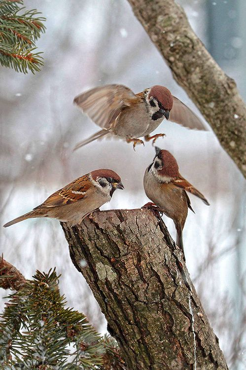 "Winter sparrows. * * BIRD IN AIR: "" Guys! Good news ! De Avian Society iz given Winter Sparrows first prize fer survival in brutal winters!"""