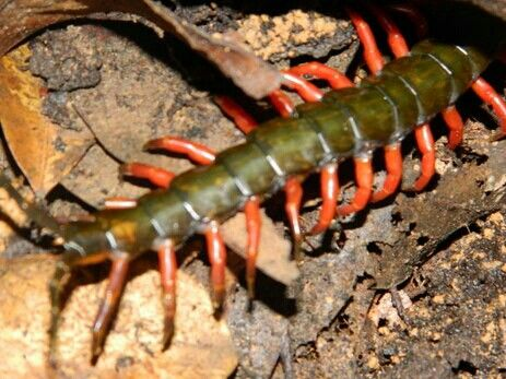 Sumatran giant centipede