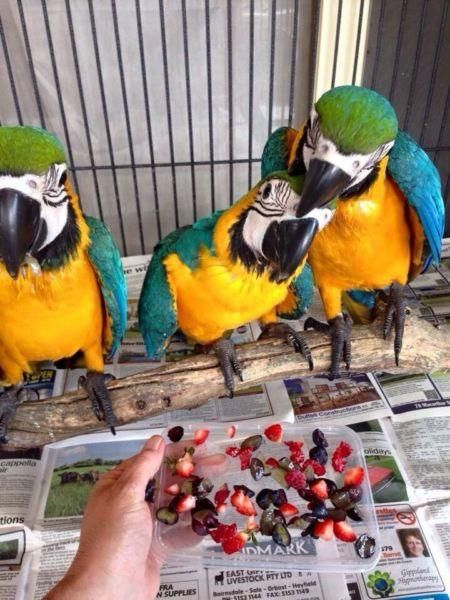 Macaw For Sale | Macaw Parrot For Sale