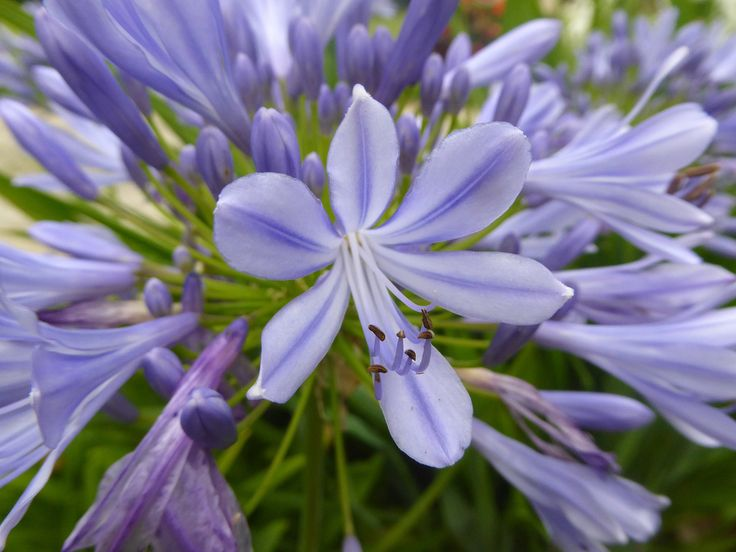 Linda DV (back online) posted a photo:  Belgium.  National Botanic Garden.  www.br.fgov.be/PUBLIC/GENERAL/index.php  Agapanthus is the only genus in the subfamily Agapanthoideae of the flowering plant family Amaryllidaceae. The family is in the monocot order Asparagales.  Some species of Agapanthus are commonly known as lily of the Nile (or African lily in the UK), although they are not lilies and all of the species are native to Southern Africa (South Africa, Lesotho, Swaziland, Mozambique)…