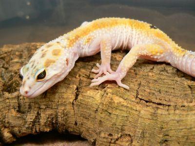 gecko leopardo wy