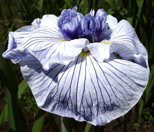 30 Best Japanese Iris Images On Pinterest Japanese Iris