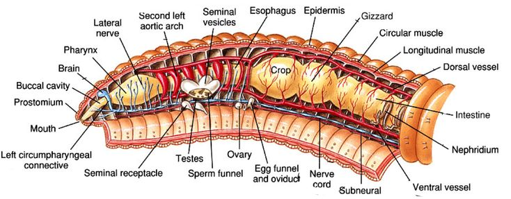 Template Annelid Earthworms Muscle And Nerve