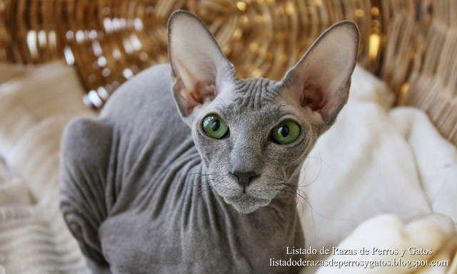 Imagen de un gato Peterbald acostado en su camita. Características físicas de la cara. Razas de gatos (Image of a Peterbald cat lying on…