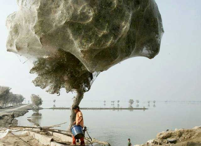 Spiders in Pakistan (this happened after a flood... all the trees in the area were covered with spiders and webs)