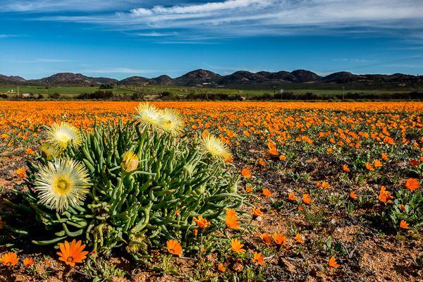 Namaqualand in fiore, il miracolo della primavera australe. ph Barbara Dall'Angelo