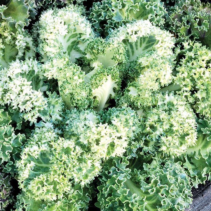Ornamental Kale Yokohama White - Round-shaped solid head with wavy leaves grows ...