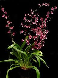 oncidium orchids - Google Search