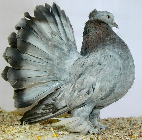 Indian Fantail Pigeon! Imagine if our American Street Rats looked like this.
