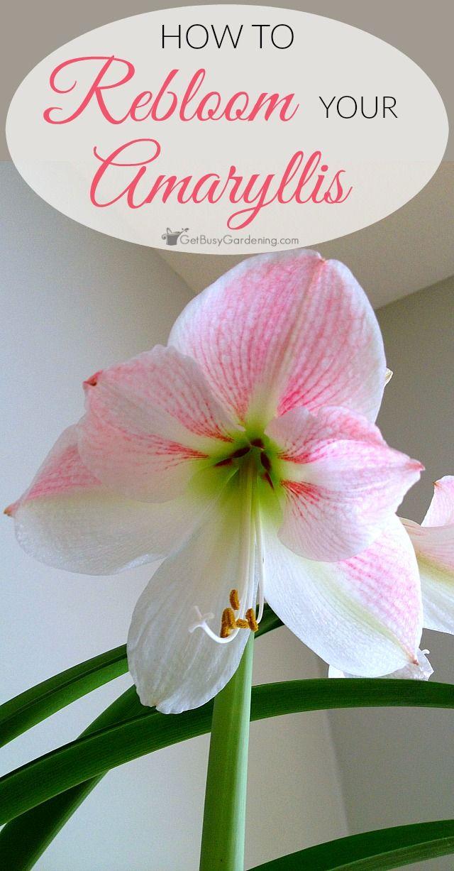How To Rebloom Your Amaryllis Plants Amaryllis Bulbs Amaryllis Plant Amaryllis