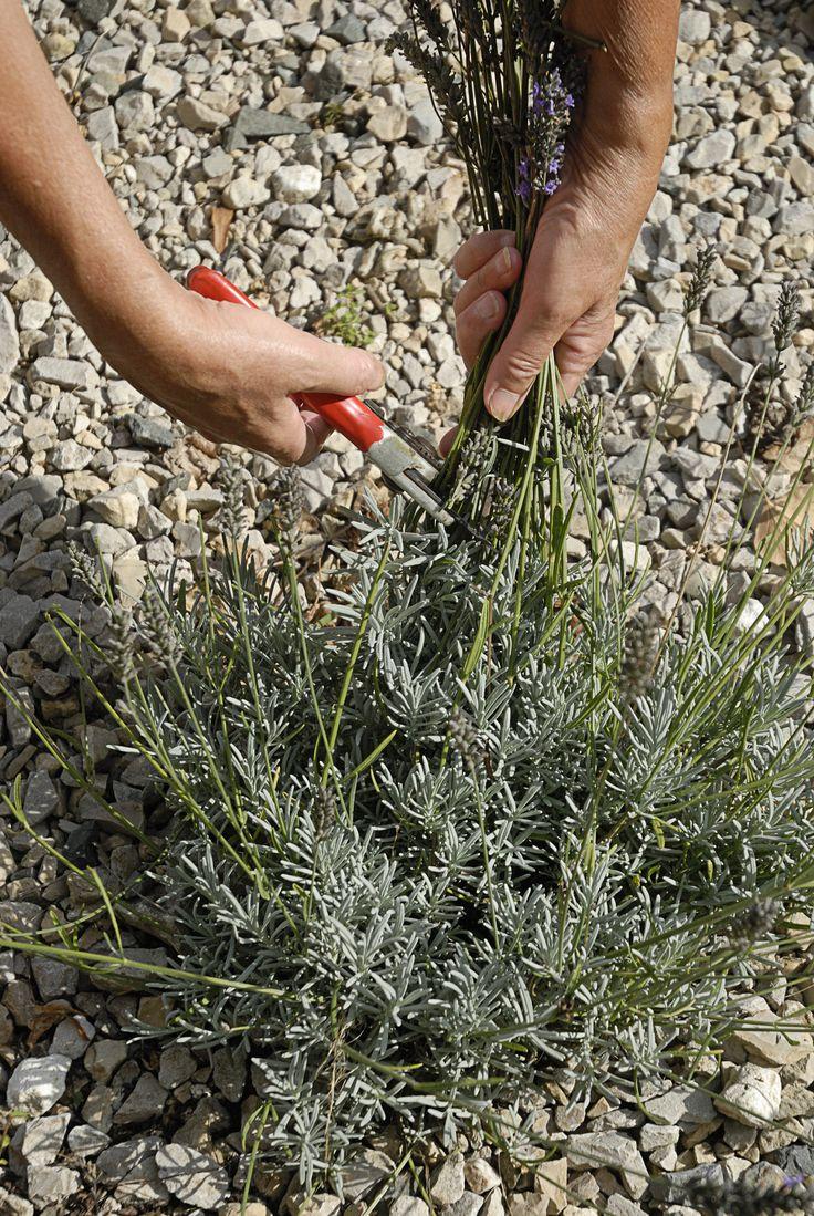 Plante phare de la côte méditerranéenne, la lavande se bouture très facilement. Voici tous les secrets pour réussir facilement la bouture des lavandes.