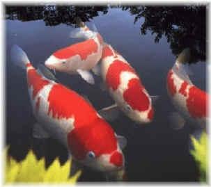 Koi:  Carassius Auratus, Japanese Koi, Japan Koi, Goldfish