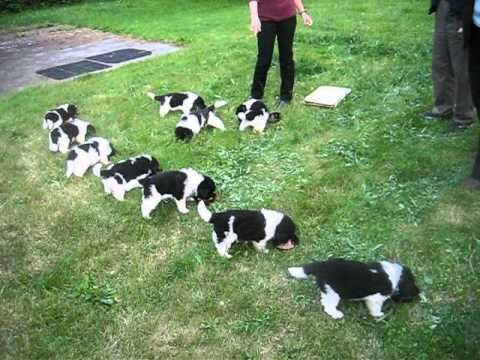 Newfoundland puppies feeding frenzy - 5 weeks