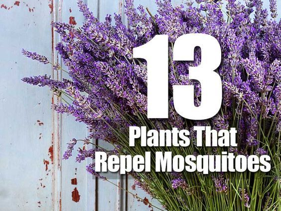 Love being outdoors but sick of those annoying blood-sucking mosquitoes? Put down the sprays and nets, here are thirteen different plants you can grow that'll help keep the mosquitoes away. Bug zappers are also annoying, and leave you sitting among insect parts. Moreover, you may not be in the mood for smoky candles or incense. …