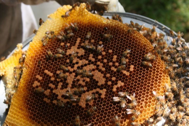 Wild Honey Bee Removal and Relocation - Einstein Bee Farm & The Promiseland Farm