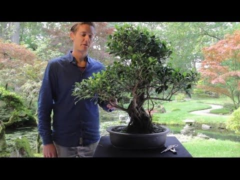 Care guide for the Fig / Ficus Bonsai tree (Ficus Retusa / Ginseng) - Bonsai Empire. Ficus make excellent indoor bonsai (tropical)...I highly recommend. They will grow aerial roots and regrow their leaves when placed in a humidity tent (well watered in a plastic bag). They are easy and inexpensive to come by. You can find ones that produce figs, variegated leaves, etc. There are Elephant foot ficus that already grow a beautiful Bonsai style trunk naturally and are covered in this site...