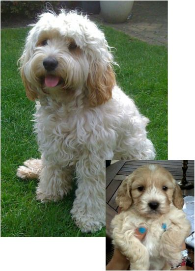 Cockapoo - the cross of an American Cocker Spaniel or English Cocker Spaniel and a poodle (puppy to adult photo)