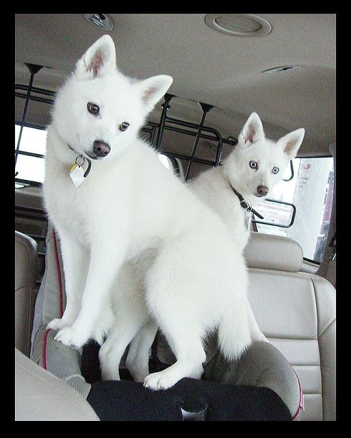 Alaskan Klee Kai! <3these look like white Fox's