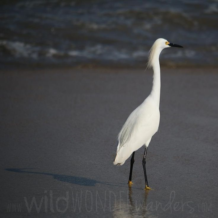 #SnowyEgret sighting on the beach...somewhere in #mexico