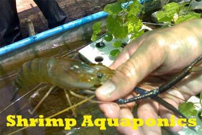 Best Types Of Shrimp Aquaponics http://diyaquaponicsplans.com/articles/fish/shrimp-aquaponics/