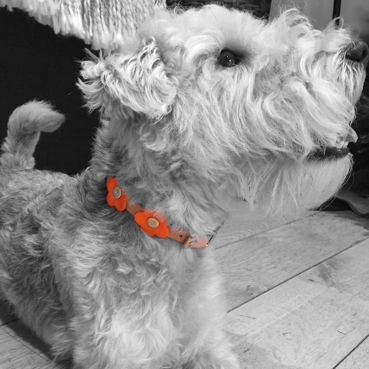 Mary Mini reflective dog collar from Haus of Dogs