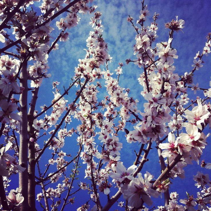 siempre es hermoso ver un almendro en flor!
