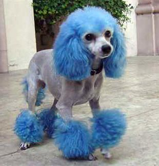 Blue Dye Poodle ...My Dog would hate me if I did this to him!  Tess how about the girls for the wedding???  Go ask Tom... I am sure he would be good with it!