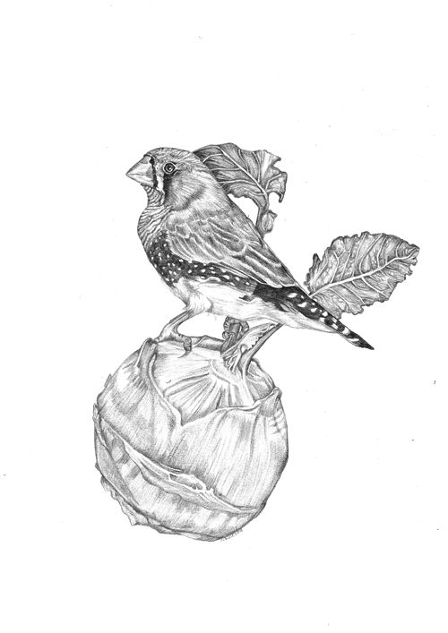 """""""Cabbagefinch"""""""