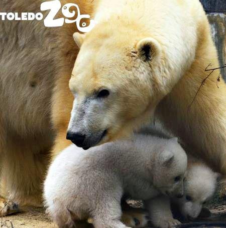 A Sneak Peek at Toledo Zoos Twin Polar Bear Cubs