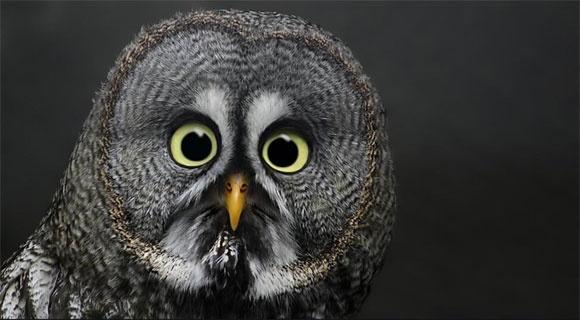 whooHoot Owls, Great Grey Owls, Great Gray Owls, Owls Eye, Amazing Nature, Funny Animal Photos, Big Eye, Crazy Eye, Animal Funny