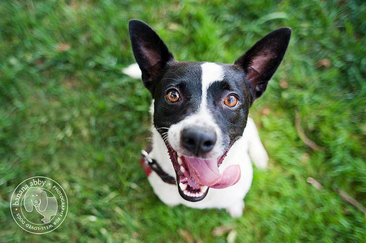 Smiley puppy. #ratterrier: Rat Terrier Puppies, Ratterrier, Dog Pictures, Rat Terriers The, Terriers Rock, Rats, Girl Rat, Rat Terrier Rocket