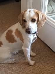 Bicolor #beagle