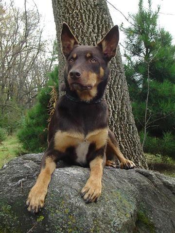 Working Kelpie Dog Breed Information   Dog breeds