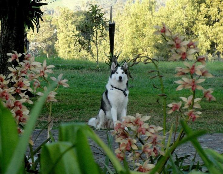 Jaakko (Medellin-Colombia)  #husky #medellin #VillaCanina