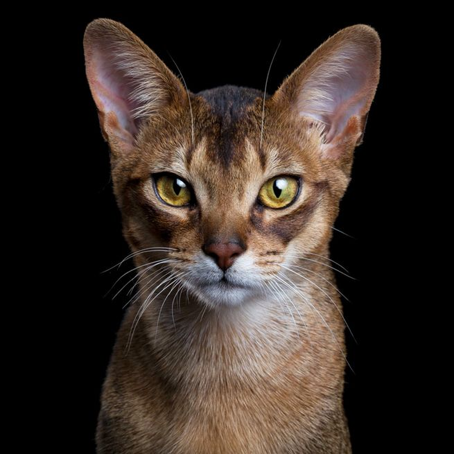 Abyssinians originate form Abyssinia, which is known the region of Ethiopia. These cats have a fur pattern in which each individual hair is a different color, giving them a beautiful shimmering coat. Abyssinian cats are a popular breed of cat, and are very intelligent and playful.