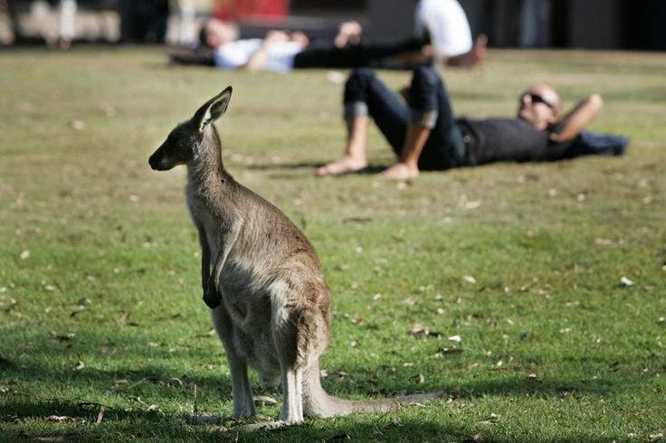 kangaroo on  uni campus