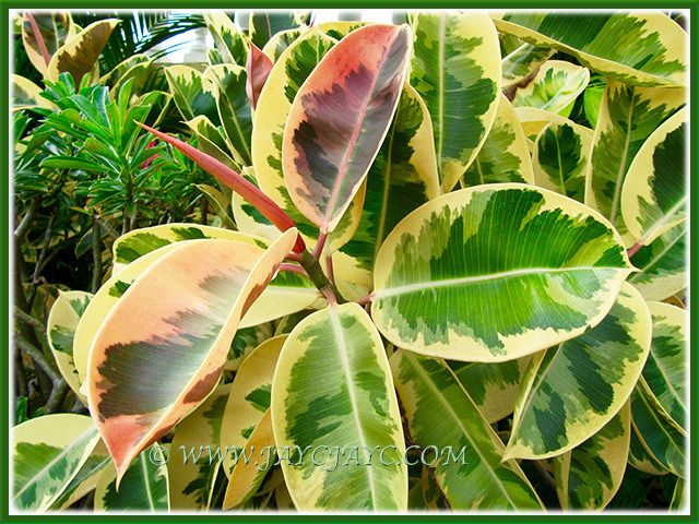 156 Best Images About Ficus Elastica On Pinterest Trees