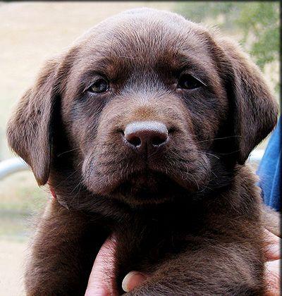 Best 20+ Labrador puppies for sale ideas on Pinterest   Labrador ...