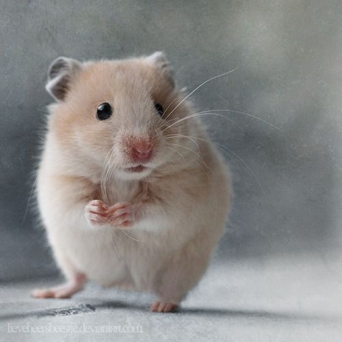 Best Hamsters Images On Pinterest Beautiful Beautiful - Hamster bartenders cutest thing youve ever seen