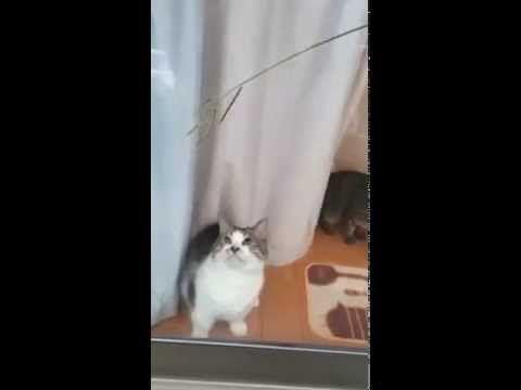 猫 レンくん 窓ごし猫ジャラシ②