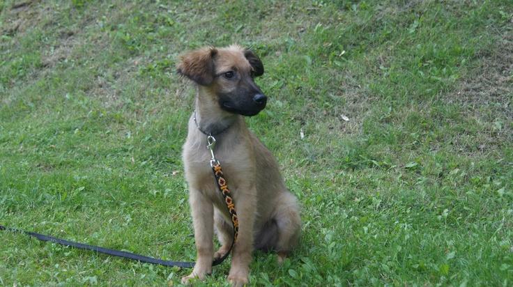 Chester szuka domu to 5 misieczny szczeniak przebywa teraz w doomu tymczasowym w Warszawie. kontak 505 551 806