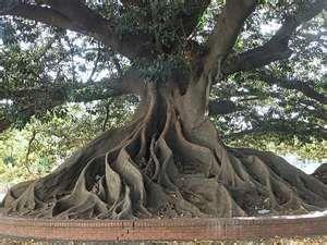 ombu tree