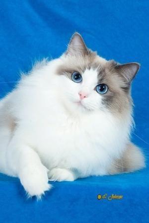 Gatinhos Ragdoll Cats Ragdoll por LottaRags Ragdoll Gatil - O que há de novo por Mavis