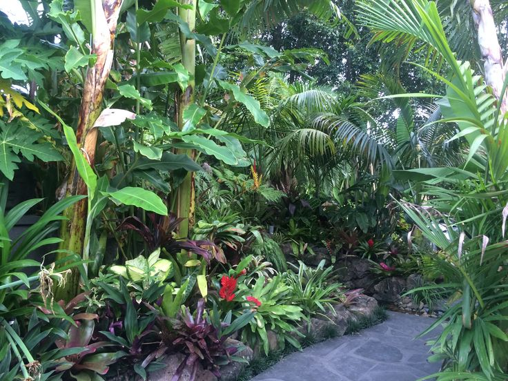 The tight planting of bananas, palms, gingers, and cordylines along the path of my small front yard conceals the rest of the garden behind and above, further adding to the sense of exploration...