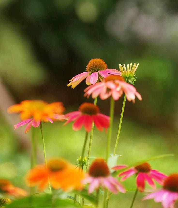 おばモニ (^O^)v 今日からとうも曜日が1日づれてる。今日は木曜日だよね。今日も☁空の朝です。でもようやく明けそうです(*^^*) 写真は、#エキナセア #紫馬簾菊 #むらさきばれんぎく #(Echinace さん(*^^*) グーグルの日本語変換がアップデートしたる使い難い(~O~;) ❤