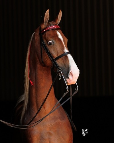 American Saddlebred, Arrowheads Once in a Lifetime